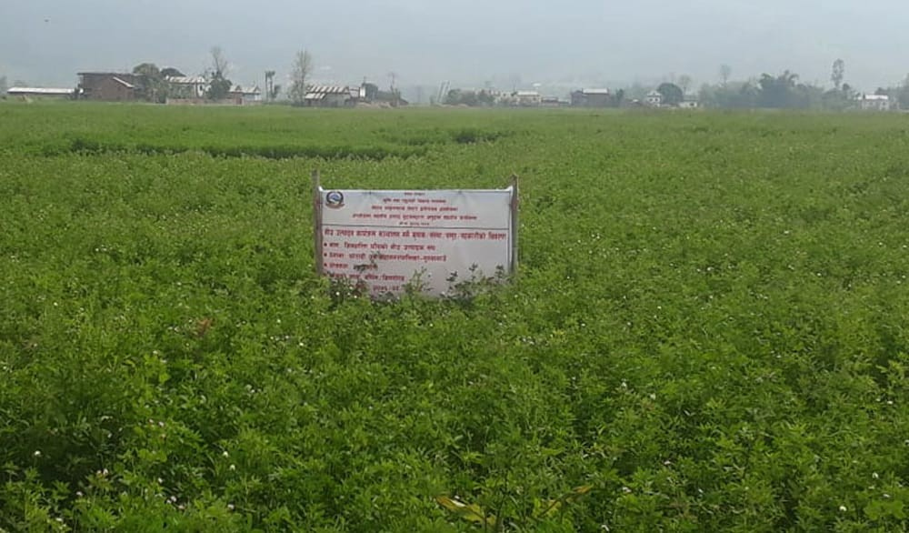 दाङमा वरसिम घाँसखेती गर्दै, आम्दानी बढाउँदै किसान